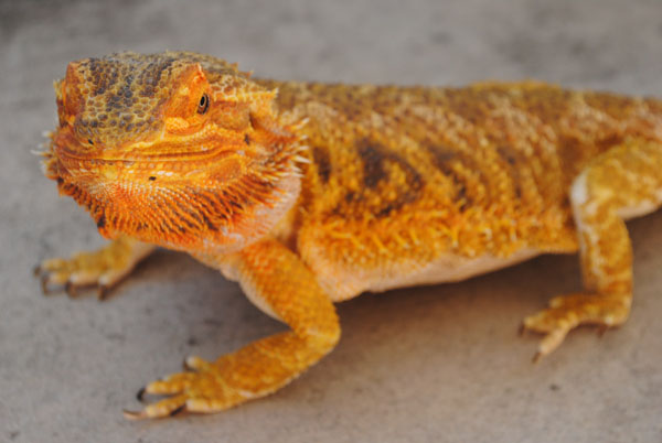 What You Should Know About Your Unique Pet: Bearded Dragons