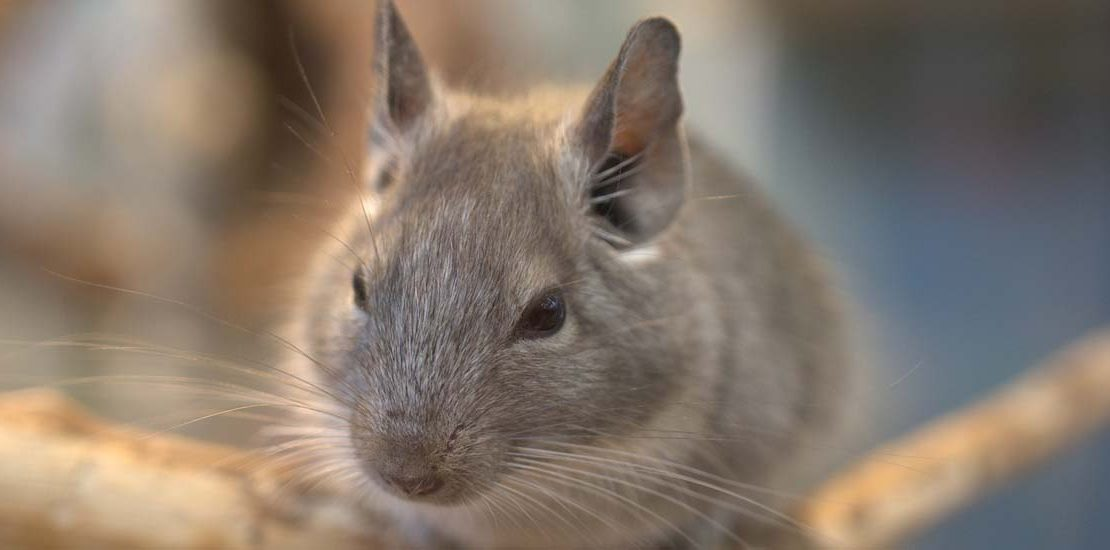 What You Should Know About Your Unique Pet: Chinchillas