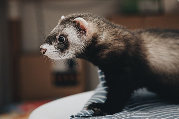 What You Should Know About Your Unique Pet: Ferrets