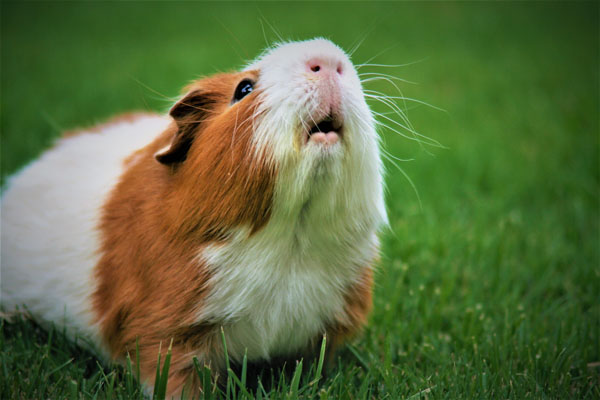 What You Should Know About Your Unique Pet: Guinea Pigs