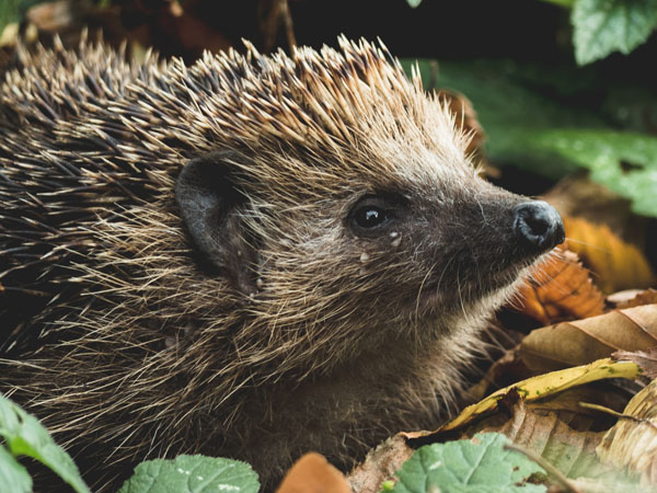 What You Should Know About Your Unique Pet: Hedgehogs
