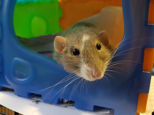 What You Should Know About Your Unique Pet: Rats